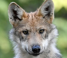 A Phot of a Mexican Wolf