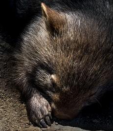 A Wombat Photo by David Clode on Unsplash