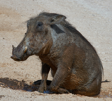 A Warthog Photo by Wolfgang Hasselmann on Unsplash