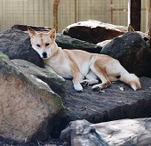A Dingo Photo by Isaac Benhesed on Unsplash
