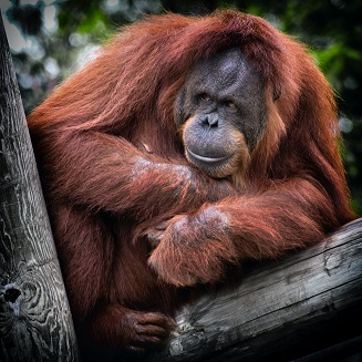 An Orangutan Photo by Dawn Armfield on Unsplash